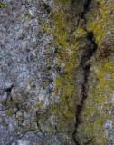 Ekspik (Calicium quercinum)