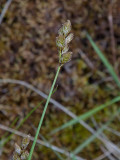 Harstarr (Carex ovalis)
