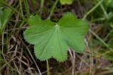 Vindaggkåpa (Alchemilla filicaulis ssp. vestita)