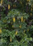 Sydgullregn (Laburnum anagyroides)