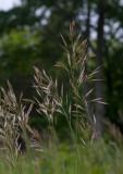 Raklosta (Bromus erectus)