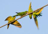 Green Parakeet (Aratinga holochlora)