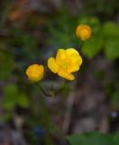 Backsmörblomma (Ranunculus polyanthemos)