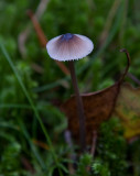Glanshätta (Mycena vitilis)