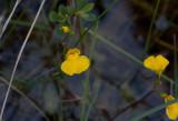 Vattenbläddra (Utricularia vulgaris)