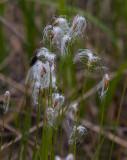 Snip (Trichophorum alpinum)
