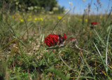 Liten getväppling (Anthyllis vulneraria ssp. vulneraria)