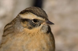 Black-throated Accentor (Prunella atrogularis)