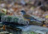 Rufous-backed Robin (Turdus rufopalliatus)