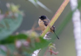 White-collared Seedeater (Sporophila torqueola)