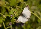 Laviana White-Skipper (Heliopetes laviana)