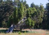 En (Juniperus communis)