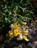Alpgullregn (Laburnum alpinum)