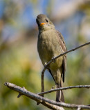 Greater Pewee (Contopus pertinax )