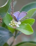 Reakirt´s Blue (Echinargus isola)