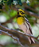 Townsend´s Warbler (Dendroica townsendi)