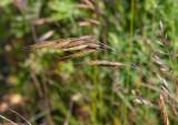 Brinklosta (Bromus commutatus)