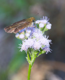 Purple-washed Skipper (Panoquina lucas)
