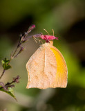 Tailed Orange (Pyrisitia proterpia)