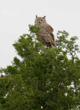Great-Horned Owl (Bubo virginianus)
