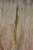 Kösa (Apera spica-venti)