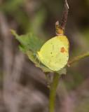 Mimosa Yellow (Pyrisitia nise)