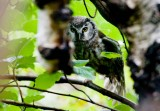 Tengmalm´s Owl (Aegolius funereus)