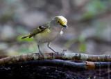 White-eyed Vireo (Vireo griseus)