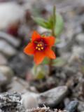 Rödmire (Anagallis arvensis)