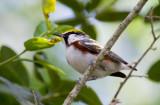 Chestnut-sided Warbler (Dendroica pensylvanica)