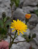Bitterfibbla (Picris hieracioides)