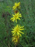 Svinrot (Scorzonera humilis)