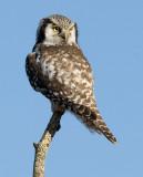 Northern Hawk Owl (Surnia ulula)