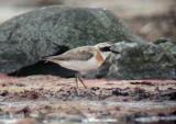 Greater Sand Plover (Charadius leschenaultii)