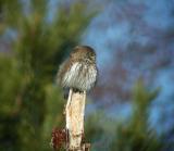 Pygmy Owl (Glaucidium passerinum)