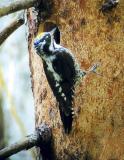 Three-toed Woodpecker (Picoides tridactylus)