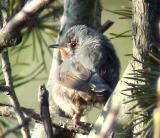 Subalpine Warbler (Sylvia cantillans)