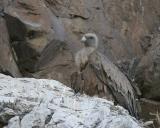 Griffon Vulture (Gyps fulvus)