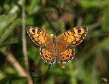 Svingelgräsfjäril (Lasiommata megera), hona