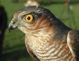 Sparrowhawk (Accipiter nisis)