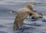 Cory´s Shearwater (Calonectris diomedea)