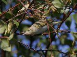 Bonelli´s Warbler (Phylloscopus bonelli)
