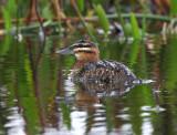 Masked Duck  (Nomonyx dominicus)