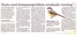 Long-tailed Shrike (Lanius schach)
