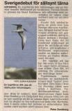 Bridled Tern (Sterna anaethetus)