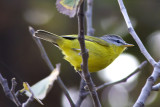 Grey-hooded warbler (Seicercus xanthoschistos)