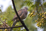Spotted dove (Streptopelia chinensis)