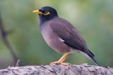 Sturnidae - Starlings, Rhabdornis