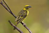Ploceidae - Weavers, Widowbirds
