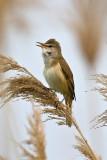 Acrocephalidae - Reed warblers and allies